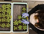 Undergraduate Tania Funes working with plants