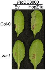 HopZ1a is recognized in Col-0 wild type plants, causing a defense response while zar1 mutants lose the defense response